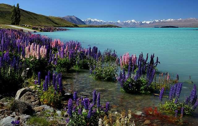 Russell Lupins. Lake Tekapo.NZ