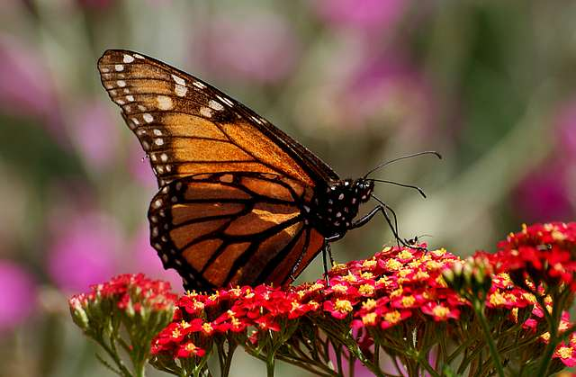 Monarch Butterfly.(Danaus plexippus)