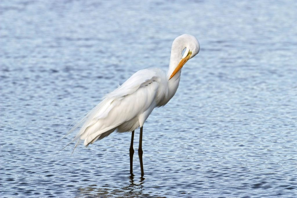 CAPE CANAVERAL, Fla. –   A great egret preens its feathers while standing in the shallow water of a pond in the Merritt island National Wildlife Refuge, which borders NASA's Kennedy Space Center in Florida.  The breed feeds alone, stalking fish, frogs, snakes and crayfish in shallow water.  They inhabit freshwater and salt marshes, marshy ponds and tidal flats.  The center shares a boundary with the refuge that includes salt-water estuaries, brackish marshes, hardwood hammocks and pine flatwoods.  The diverse landscape provides habitat for more than 310 species of birds, 25 mammals, 117 fishes and 65 amphibians and reptiles.   Photo credit: NASA/Jim Grossmann KSC-08pd4127