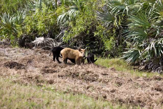 CAPE CANAVERAL, Fla. –– Wild pigs forage for food near a road through NASA's Kennedy Space Center in Florida.  The wild pigs have flourished in the environs around Kennedy, which shares a border with the Merritt Island National Wildlife Refuge, without many predators other than panthers and humans. Pigs were introduced to Florida in the 1500s and are now found statewide in wooded areas close to water. Pigs are omnivores, foraging on the ground and rooting just beneath the surface, which damages the groundcover. Wild pigs eat almost anything that has nutritional value, including tubers, roots, shoots, acorns, fruits, berries, earthworms, amphibians, reptiles and rodents. Their appearance is similar to domestic hogs, but leaner, with a longer, narrower head and a coarser, denser coat.  Females may have two litters per year.  The piglets are weaned in a few weeks but remain with the mother for several months. Photo credit: NASA/Dimitri Gerondidakis KSC-2009-2842