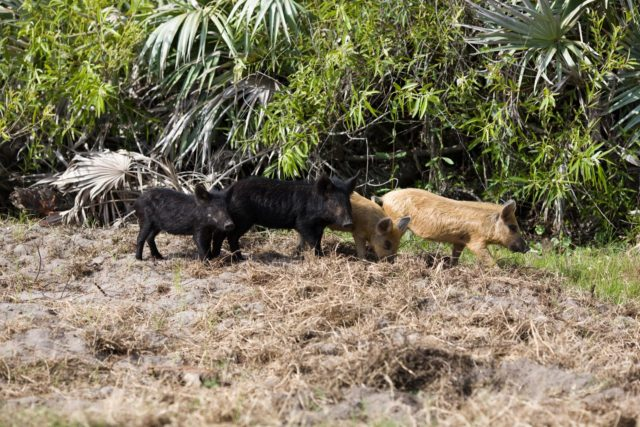 CAPE CANAVERAL, Fla. –– Wild pigs forage for food near a road through NASA's Kennedy Space Center in Florida.  The wild pigs have flourished in the environs around Kennedy, which shares a border with the Merritt Island National Wildlife Refuge, without many predators other than panthers and humans. Pigs were introduced to Florida in the 1500s and are now found statewide in wooded areas close to water. Pigs are omnivores, foraging on the ground and rooting just beneath the surface, which damages the groundcover. Wild pigs eat almost anything that has nutritional value, including tubers, roots, shoots, acorns, fruits, berries, earthworms, amphibians, reptiles and rodents. Their appearance is similar to domestic hogs, but leaner, with a longer, narrower head and a coarser, denser coat.  Females may have two litters per year.  The piglets are weaned in a few weeks but remain with the mother for several months. Photo credit: NASA/Dimitri Gerondidakis KSC-2009-2843