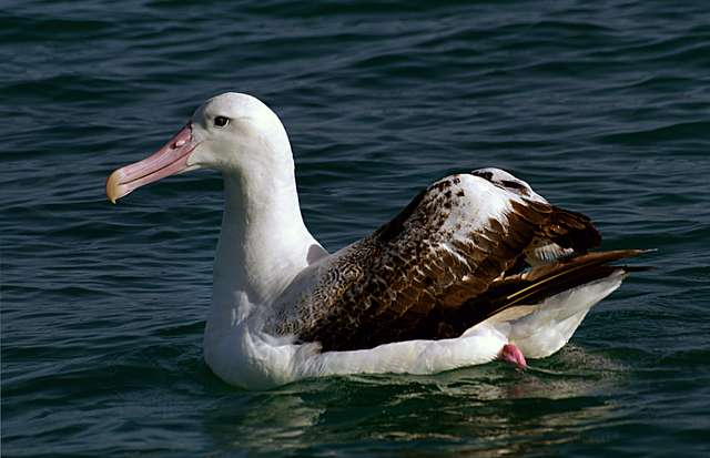 Wandering Albatross. NZ