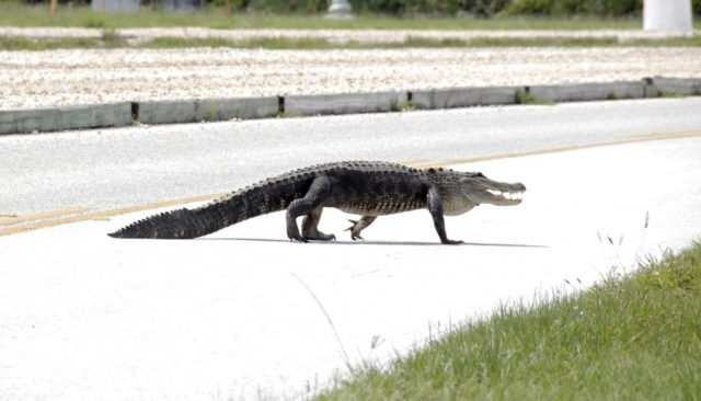 CAPE CANAVERAL, Fla. –  Taking a mid-day stroll, an alligator crosses the Saturn Causeway at NASA's Kennedy Space Center in Florida in front of the Astrovan with STS-127 crew members aboard.  The crew was on its way to Launch Pad 39A for a simulated launch countdown, part of the terminal countdown demonstration test.  Alligators can be spotted in the drainage canals and other waters surrounding Kennedy.  They occasionally venture onto roads seeking new environs or mates.  The center shares a boundary with the Merritt Island Wildlife Nature Refuge, which is a habitat for more than 310 species of birds, 25 mammals, 117 fishes and 65 amphibians and reptiles.  Photo credit: NASA/Kim Shiflett KSC-2009-3679