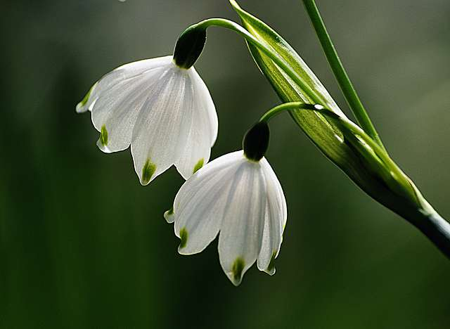 A pair of  snowdrops.
