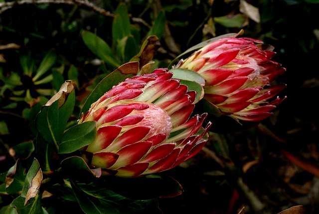 """suikerbossie"""" (sugarbush) Protea ."""