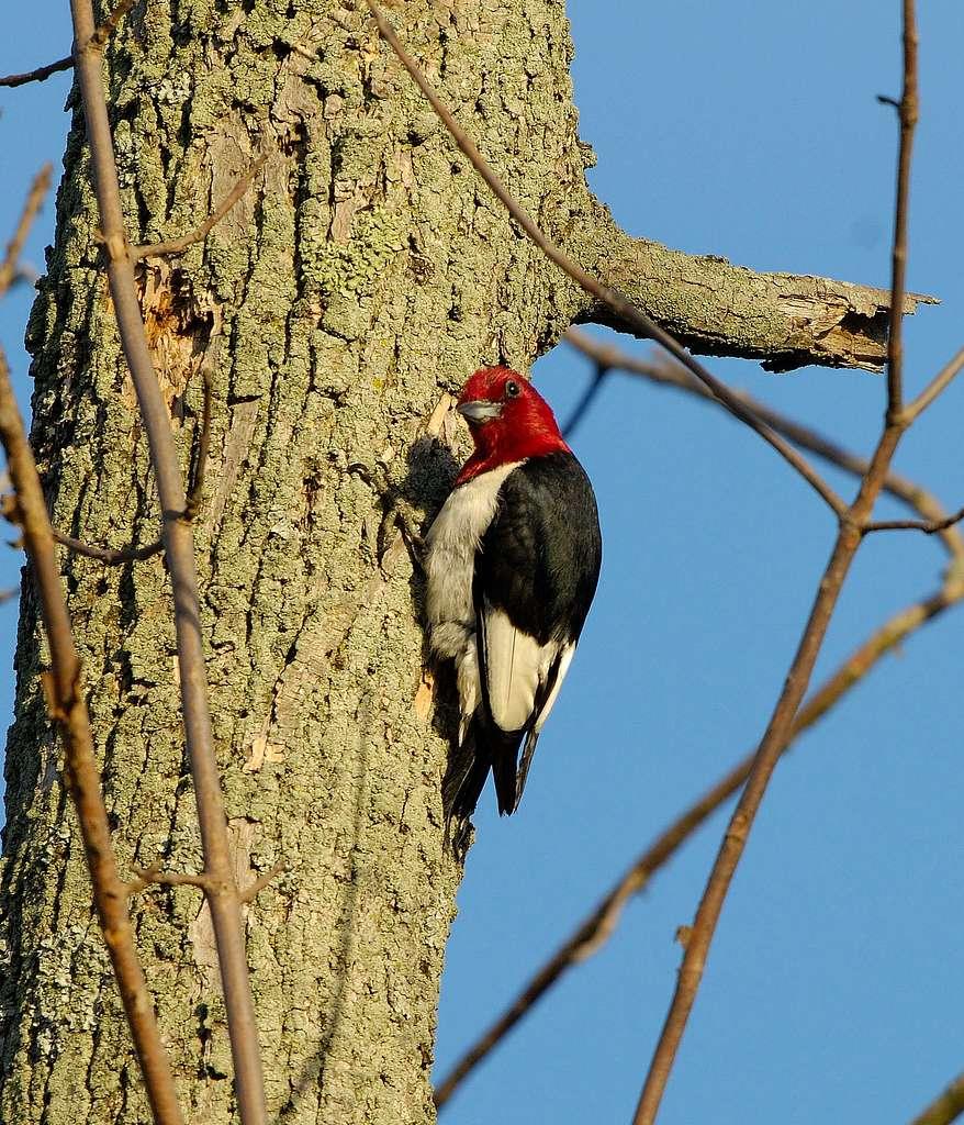 Red Headed Woodpecker (2)