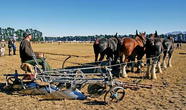 Horse Ploughing.Teamwork.