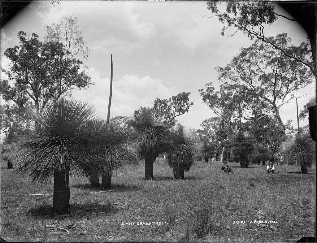 Giant Grass Trees (4903846312)