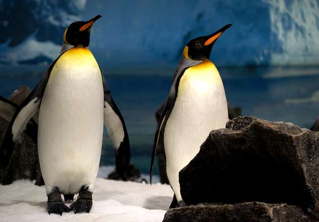 King Penguins. Sea World Qld. Australia.