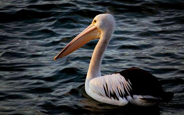 Australian Pelican. (Pelecanus conspicillatus)