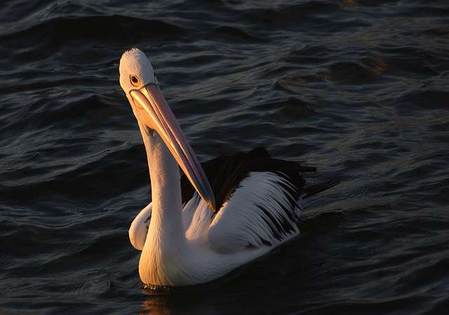 Pelican in the sunset.