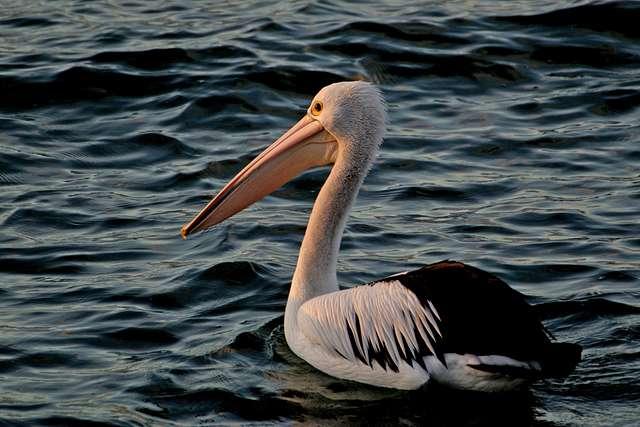 Sunset pelican.