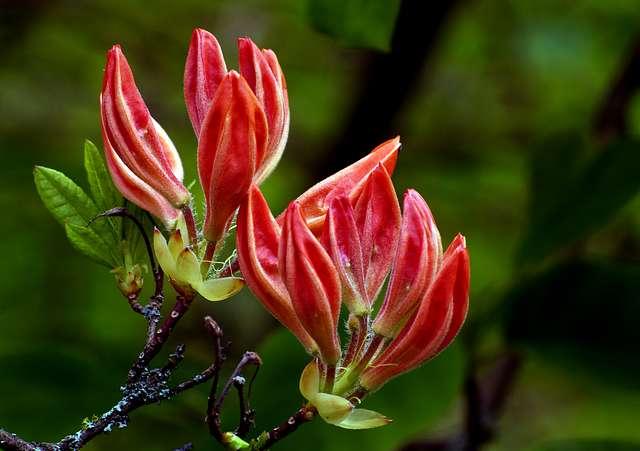 Budding azaleas.