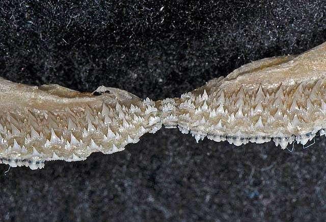 Parmaturus xaniurus lower teeth