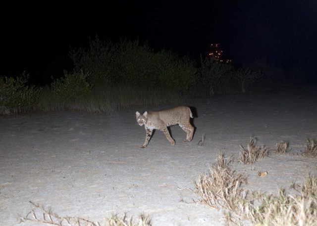 CAPE CANAVERAL, Fla. – Out on a nocturnal stroll, a bobcat triggers a motion-activated remote camera set up for this purpose at NASA's Kennedy Space Center in Florida.  The cat is seldom observed during the day unless scared from its daytime shelter.  It is the last large mammalian predator remaining on the center.    In the background are the lights on Launch Pad 39A.  Kennedy and the Merritt Island National Wildlife Refuge mutually reside on 140,000 acres on central Florida's east coast.  The area's coastal dunes, saltwater estuaries and marshes, freshwater impoundments, scrub, pine flatwoods, and hardwood hammocks provide habitats for more than 1,500 species of plants and animals, including about 331 species of birds. For more information, visit http://www.nasa.gov/kennedy.  Photo credit: NASA/Tony Gray KSC-2012-1806