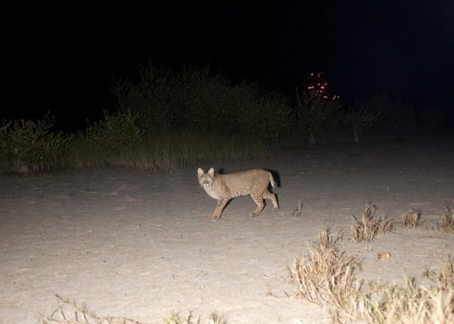 CAPE CANAVERAL, Fla. – Gotcha!  A bobcat out on a nocturnal stroll triggers a motion-activated remote camera set up for this purpose at NASA's Kennedy Space Center in Florida.  The cat is seldom observed during the day unless scared from its daytime shelter.  It is the last large mammalian predator remaining on the center.    In the background are the lights on Launch Pad 39A.  Kennedy and the Merritt Island National Wildlife Refuge mutually reside on 140,000 acres on central Florida's east coast.  The area's coastal dunes, saltwater estuaries and marshes, freshwater impoundments, scrub, pine flatwoods, and hardwood hammocks provide habitats for more than 1,500 species of plants and animals, including about 331 species of birds. For more information, visit http://www.nasa.gov/kennedy.  Photo credit: NASA/Tony Gray KSC-2012-1807