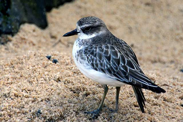 New Zealand dotterel. (Charadrius obscurus)