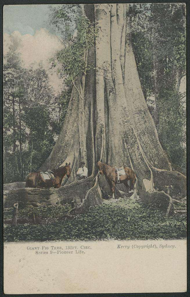 Giant Fig Tree, 1906 (8285831749)