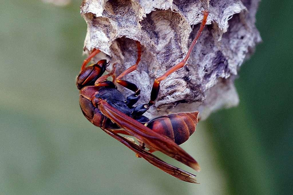 Australian paper wasp. (Polistes humilis)