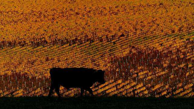 Bull and the vines. NZ