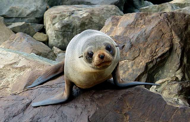 Southern New Zealand  fur seal.
