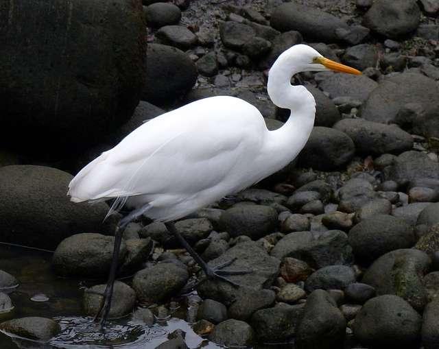 White heron. (Egretta alba modesta)