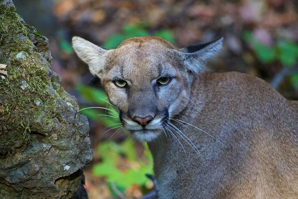 Cougar (Puma concolor), Santa Monica Mountains National Recreation Area, 2015.