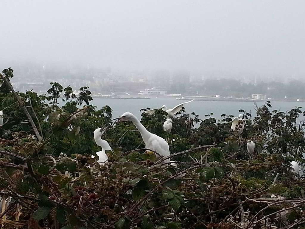 Snowy egret (Egretta thula) fledglings, Golden Gate National Recreation Area, 2015.