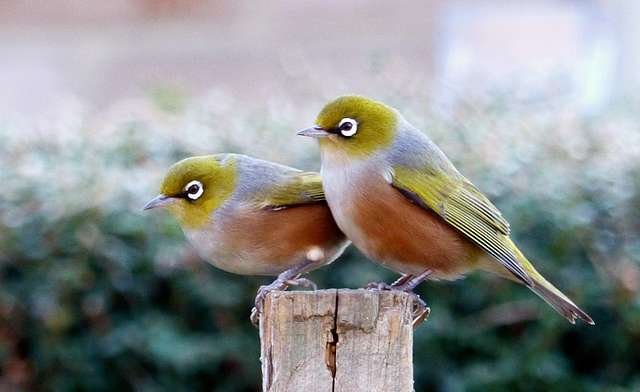 A pair of waxeyes.