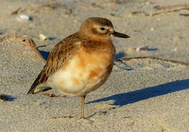 New Zealand dotterel. ( Charadrius obscurus)