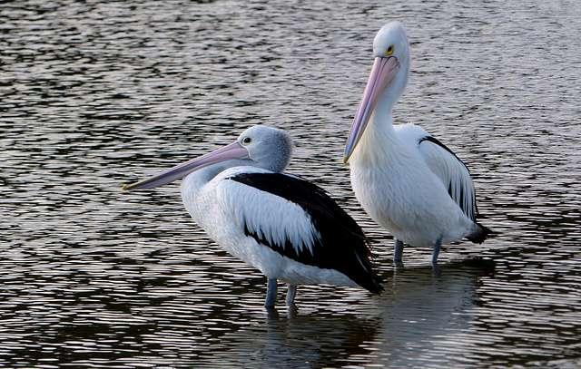 Pelicans x2