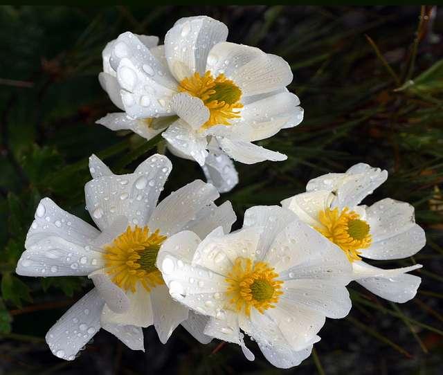 Mt Cook lily (Ranunculus lyallii)