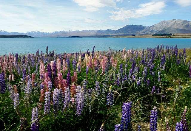 Russell Lupins. Lake Tekapo. NZ