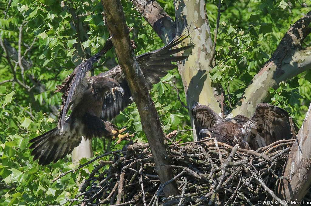 2016 Eaglets Causing a Ruckus in the Nest