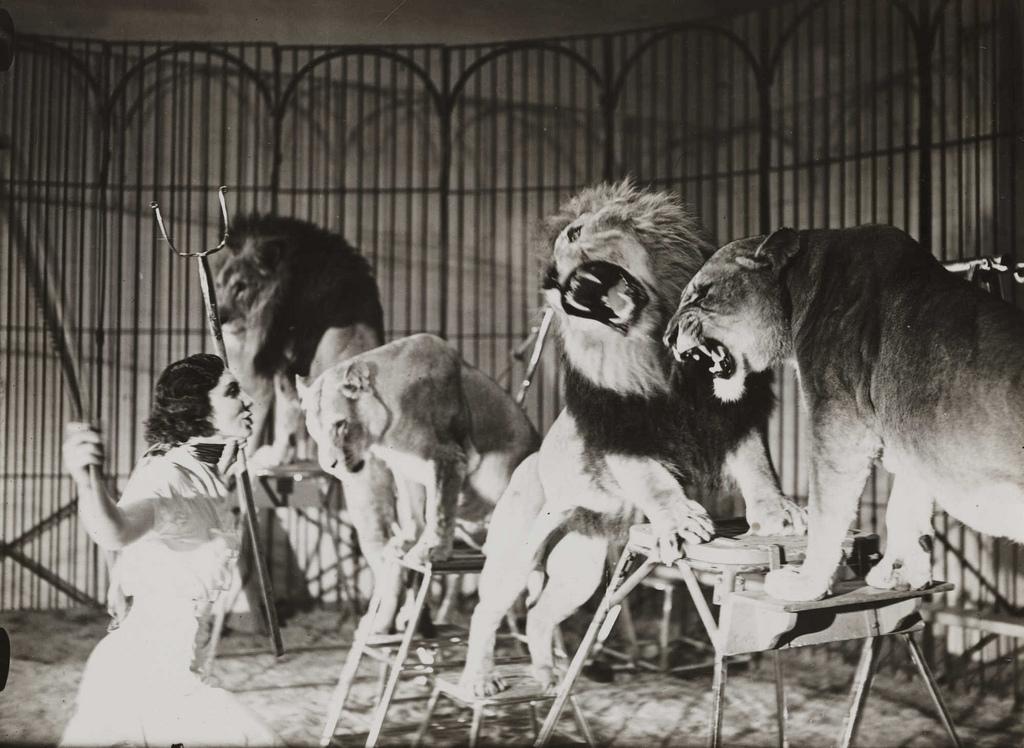A lion tamer at Bertram Mills Touring Circus, Ascot