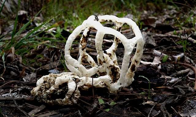 Basket Fungi. (Ileodictyon cibarium)