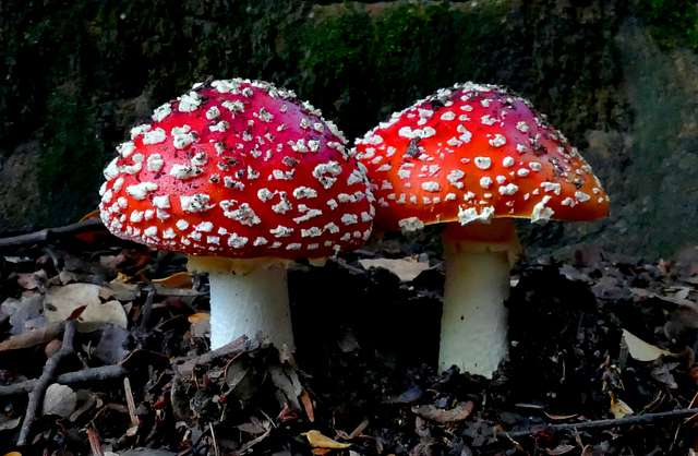 Amanita muscaria,  Fly agaric.