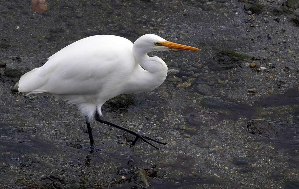 Kotuku, White heron,( Egretta alba modesta,)