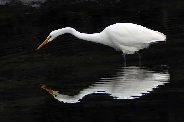 White heron,(Egretta alba modesta)