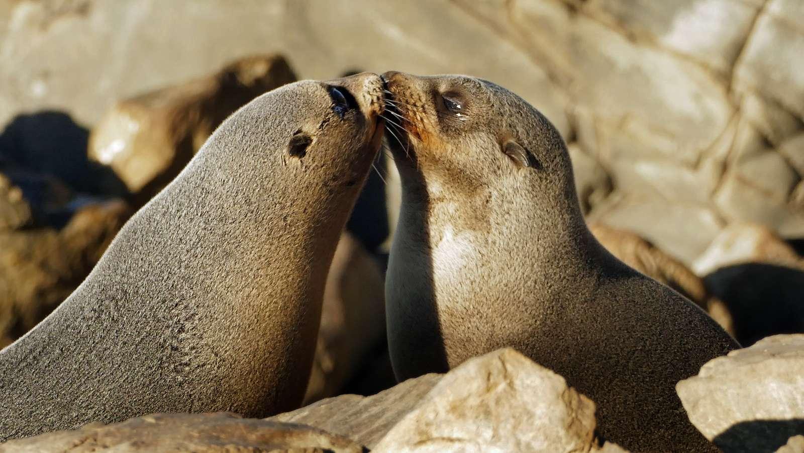 A touching moment. NZ Fur Seals.