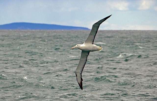 Northern Royal Albatross,