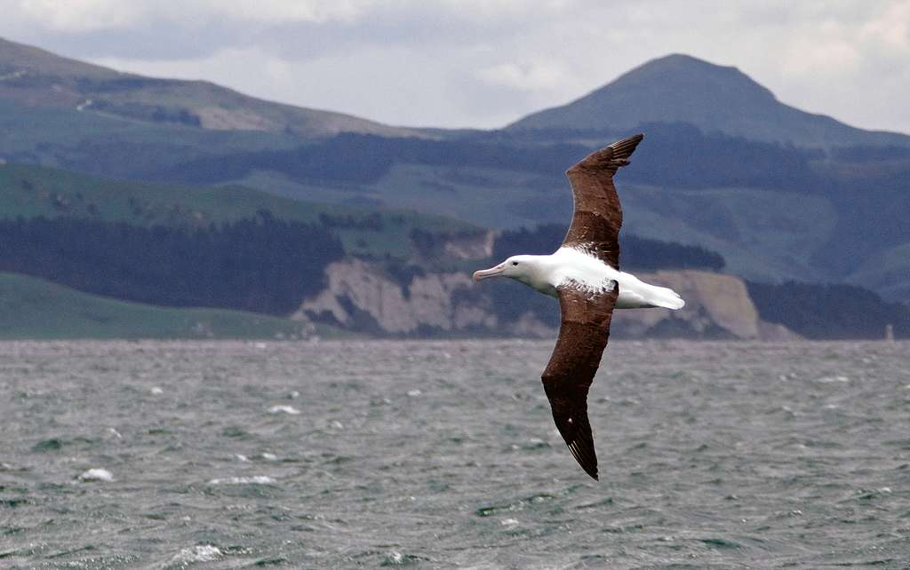Northern royal albatross,( Diomedea sanfordi,)