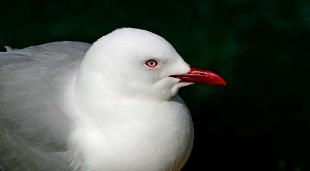 Red billed Gull. ( Larus scopulinus ). NZ