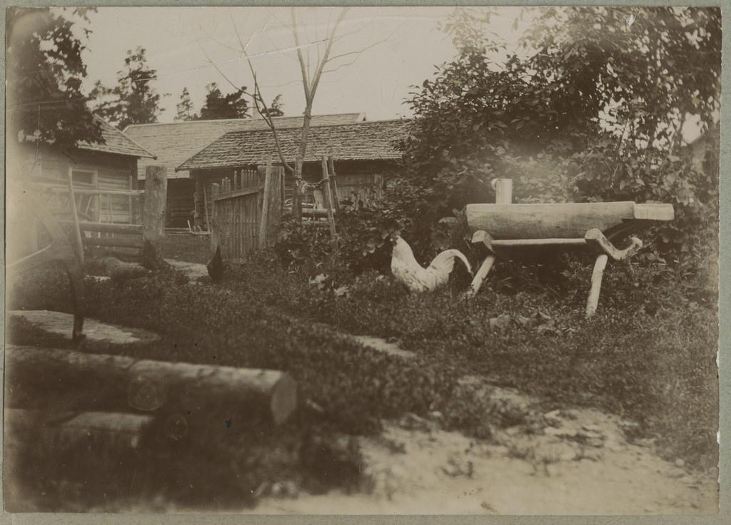 Kukk kanadega taluõuel / A rooster with a few chicken on a farmyard