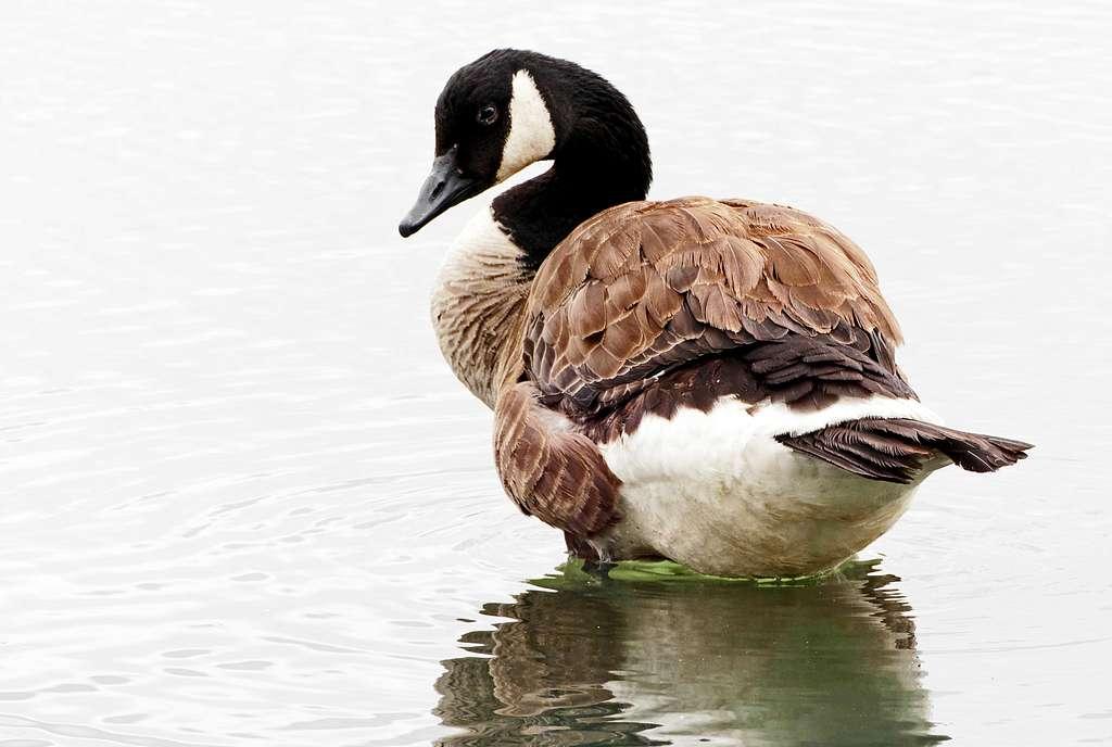 Canadian Goose. (Branta canadensis)