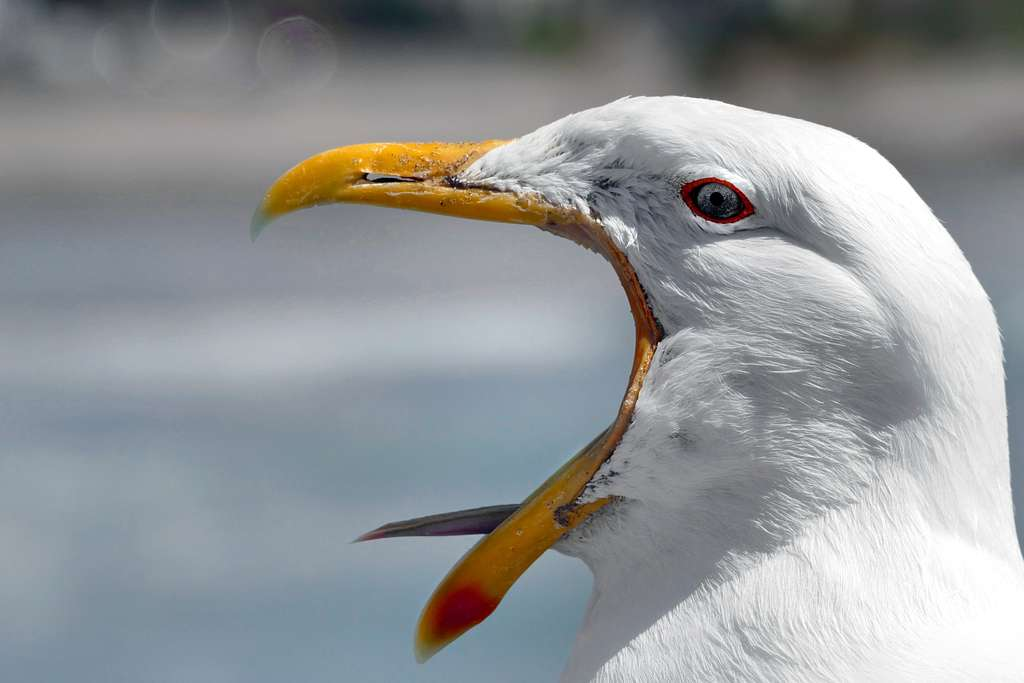 Loud mouthed Gull...
