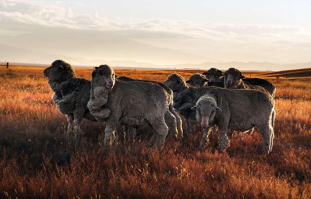 Merino sheep. NZ