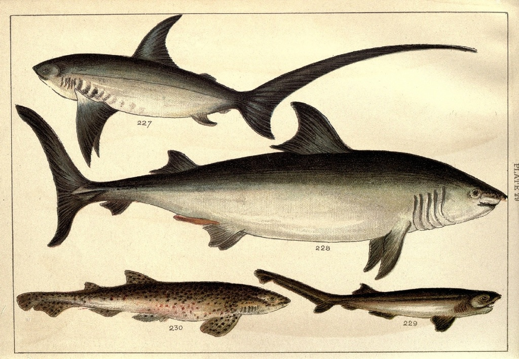 Our country's fishes and how to know them - a guide to all the fishes of Great Britain WJ Gordon 1902 j