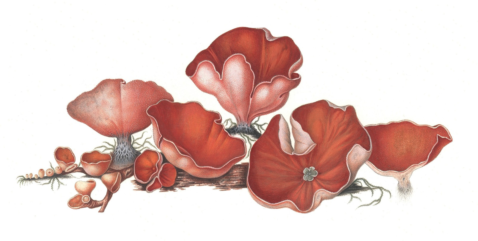 Peziza dichroa (Aleuria aurantia)