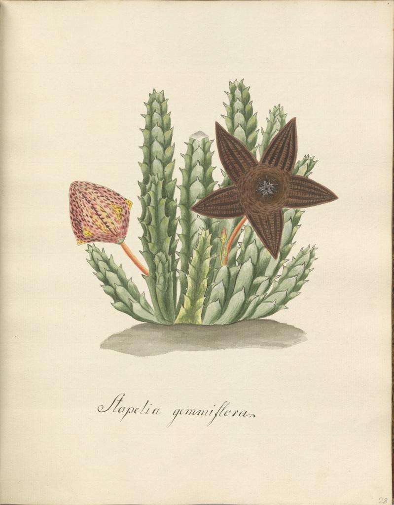 Stapelia gemmiflora